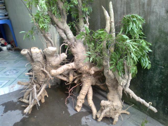 rễ đinh lăng
