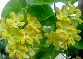 tác dụng chữa bệnh từ hoa thiên lý